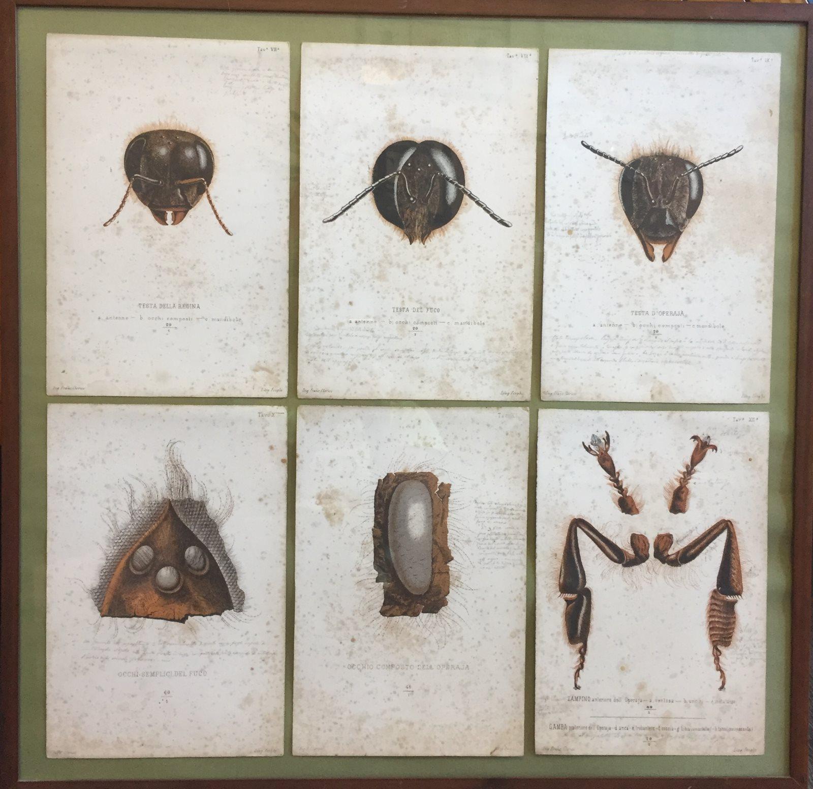 Antico libro realizzato a mano sull'anatomia dell'ape